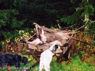 Tici og Marco sjekker elg- og hjortefall