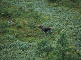 Stor elg!